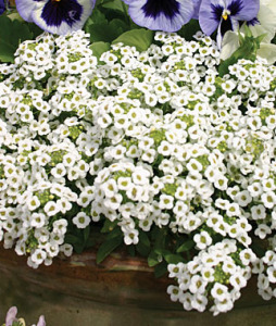 Alyssum, Carpet Of Snow