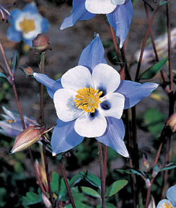 Columbine, Blue Star