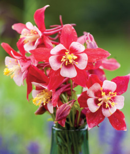Columbine, Origami Red-White