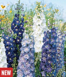 Delphinium, Fantasia Mixed Colors