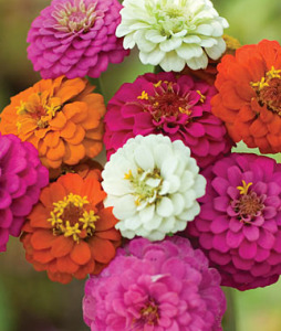 Zinnia, Cut & Come Again Mix